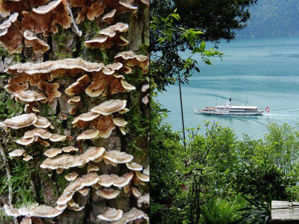 Zu Fuss sieht man mehr: Baumpilze und das Dampfschiff auf dem Vierwaldstättersee.